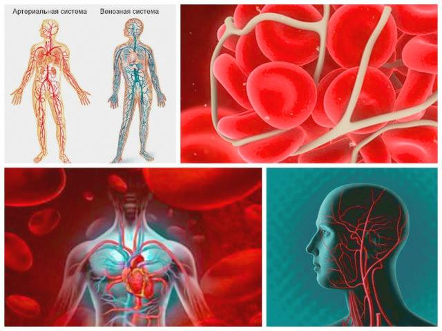 кровеносные-сосуды