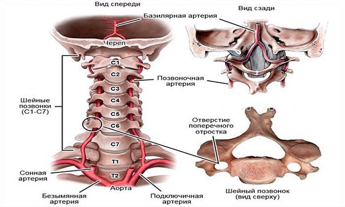 Позвоночная-артерия